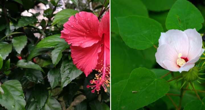 hojas de hibisco