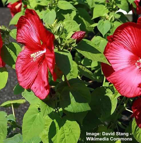 Rojo Luna de Hibiscus Moscheutos