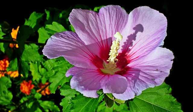 Hibiscus Syriacus 'Afrodita'
