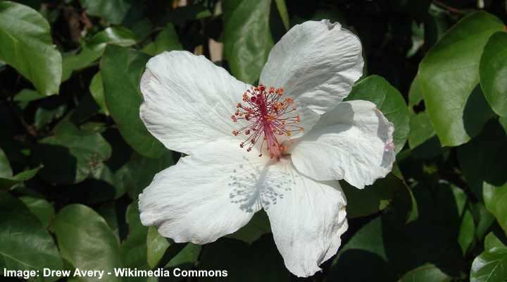 Hibisco arnottianus