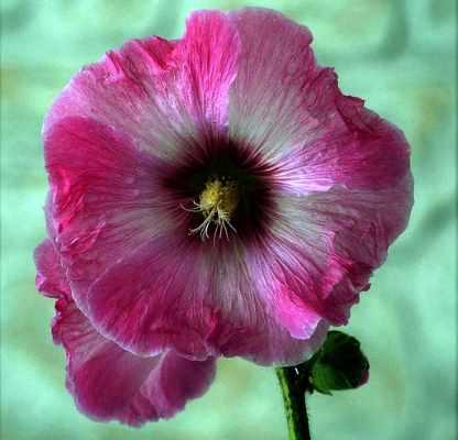 Hibiscus moscheutos 'Efecto aerógrafo'