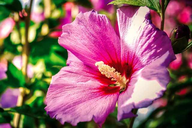 Hibiscus moscheutos 'Berry Awesome'