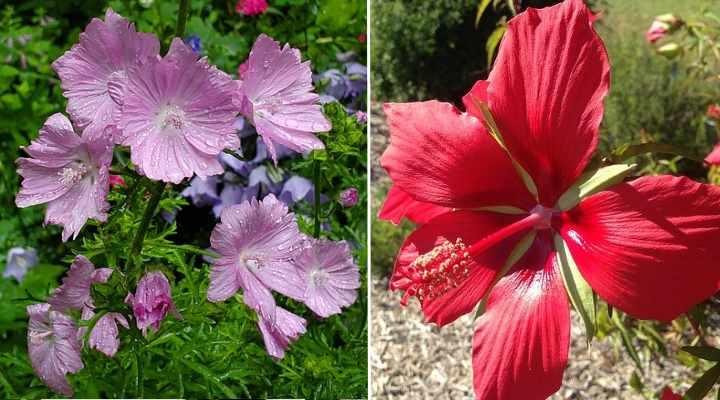Hibiscus moscheutos y coccineus