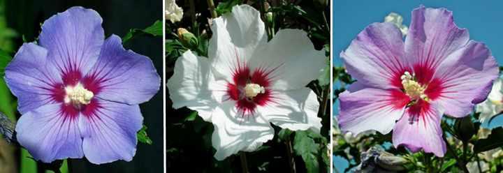 Flores de hibiscus syriacus