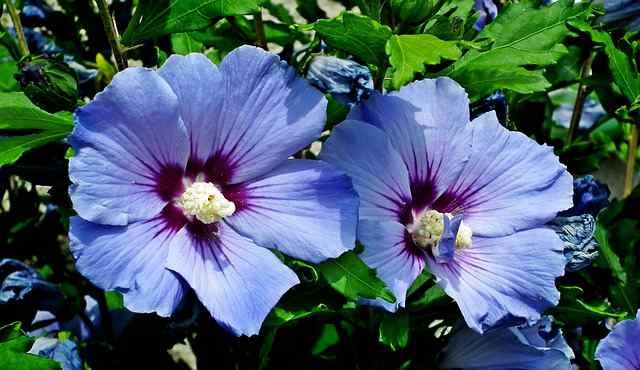 Hibiscus siriaco 'Oiseau Bleu'