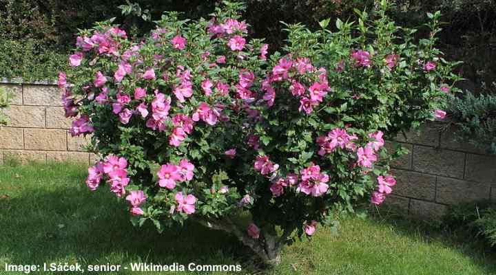 Árbol de hibiscus syriacus