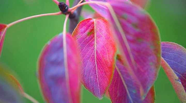 Peral ornamental 'Autumn Blaze' (Pyrus calleryana 'Autumn Blaze')