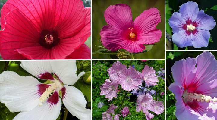 resistentes flores de hibisco