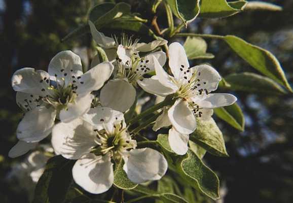 flores de pera ornamentales