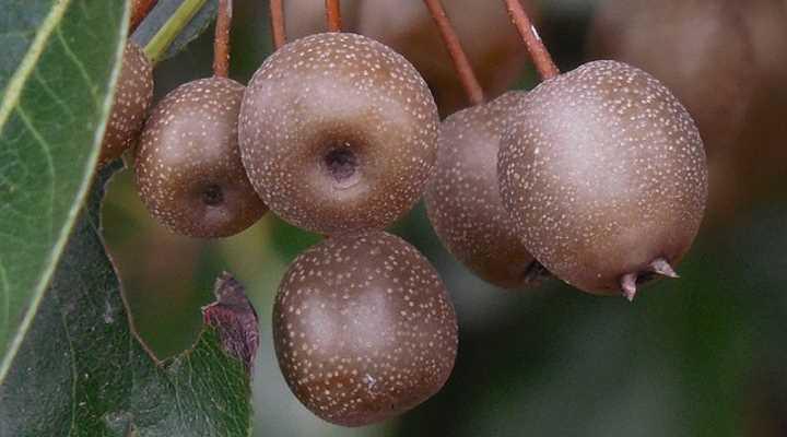 fruta de pera ornamental