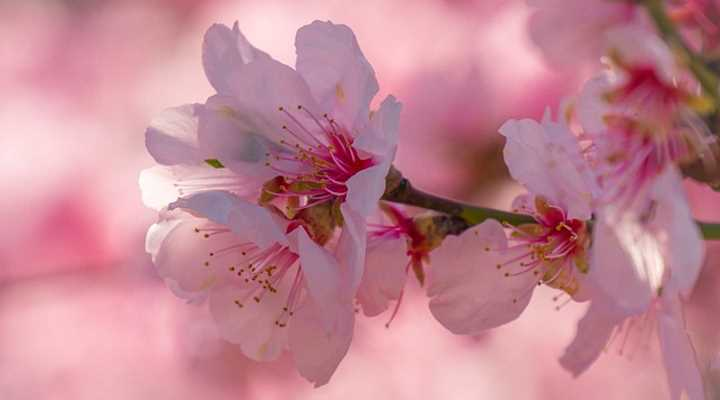 Dwarf Or Small Cherry Blossom Trees With Pictures With Care Guide