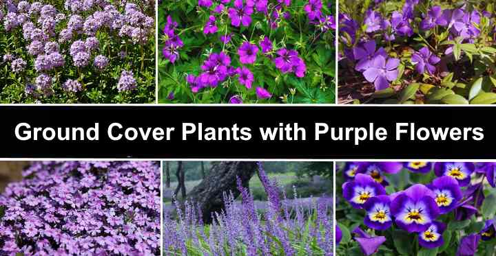 Ground Cover Plants With Purple Flowers, Ground Cover Flowering Plants