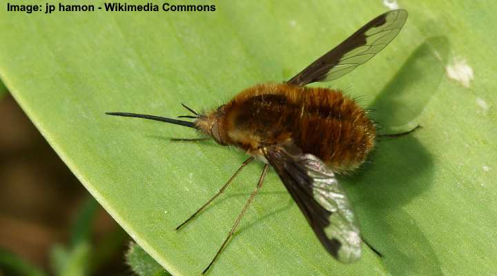 Abeja-mosca (Bombylius major)