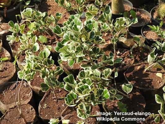 icus triangularis 'Variegata'