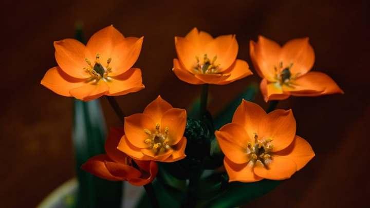 Planta estrella naranja