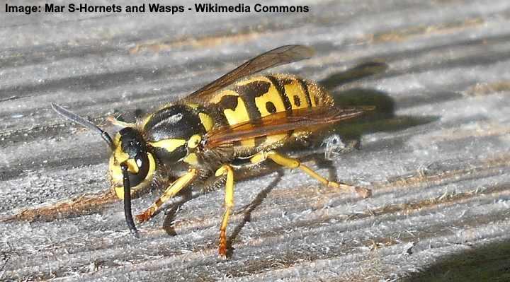 Chaqueta amarilla o chaqueta amarilla (Vespula germanica)